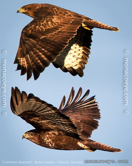 Common Buzzard Accipitridae Buzzards Birds Of Prey France Cote D Azur Camargue