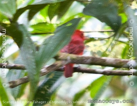 Hepatic Tanager Range Similar Hepatic Tanager