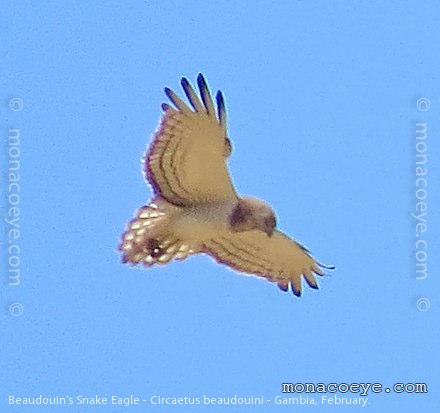 Beaudouins snake eagle - photo#8