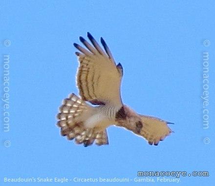 Beaudouins snake eagle - photo#18