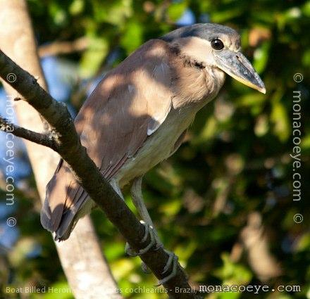 Broad Billed Heron Bird Name Boat Billed Heron