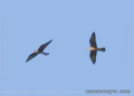 eleonora 39 s falcon falconidae birds of prey falcons. Black Bedroom Furniture Sets. Home Design Ideas