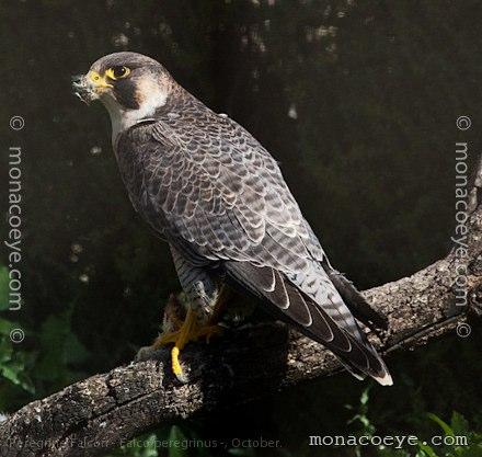 peregrine falcon falconidae falcons birds of prey. Black Bedroom Furniture Sets. Home Design Ideas