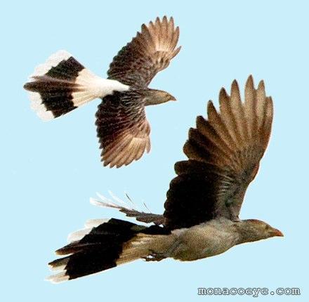 Below guira cuckoos in flight mostardas rs brazil