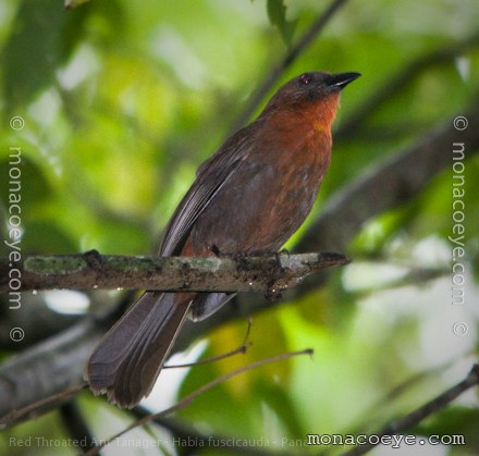 Bird With Red Throat 21