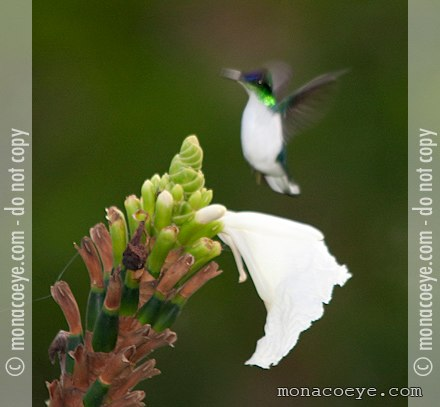 Purple Crowned Fairy Hummingbird Purple Crowned Fairy