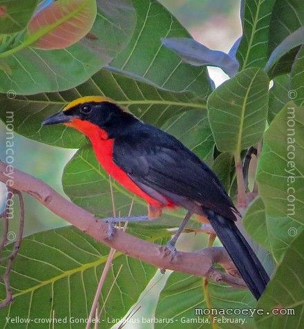 Yellow Bird Name Bird Name Yellow Crowned