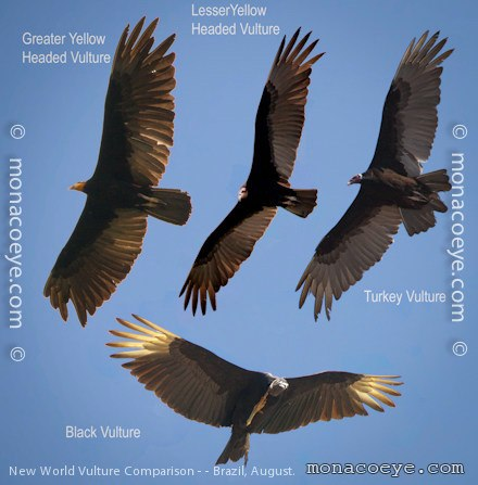 Buzzard vulture difference - photo#14