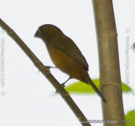 Chestnut Bellied Finch Chestnut-billed Seed-finch