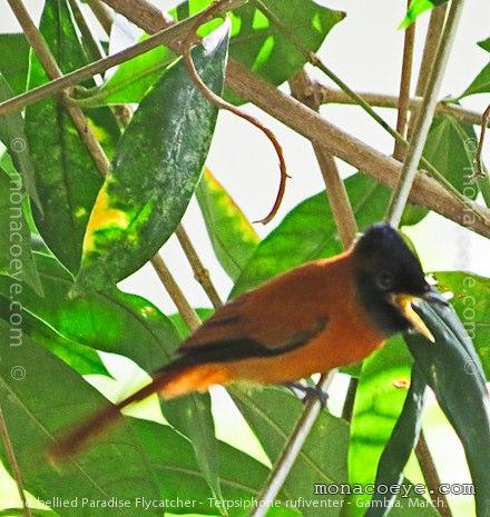 Red Bellied Paradise Flycatcher | Monarchidae, Monarchs, Paradise ... Latin