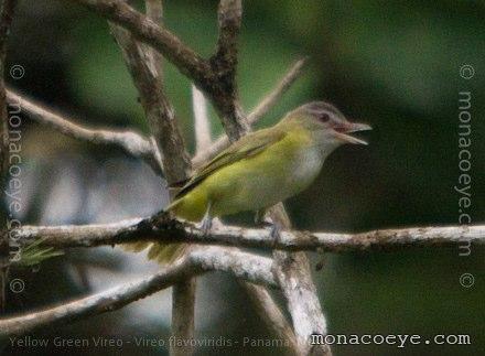 Green Birds Names Bird Name Yellow Green Vireo