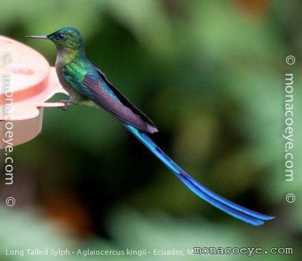 Long Tailed Sylph Trochilidae Hummingbirds Ecuador Guango Lodge San Isidro Lodge Napo